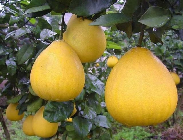 冬天吃柚子竟有这么多好处,看完发现自己根本不会吃柚子!